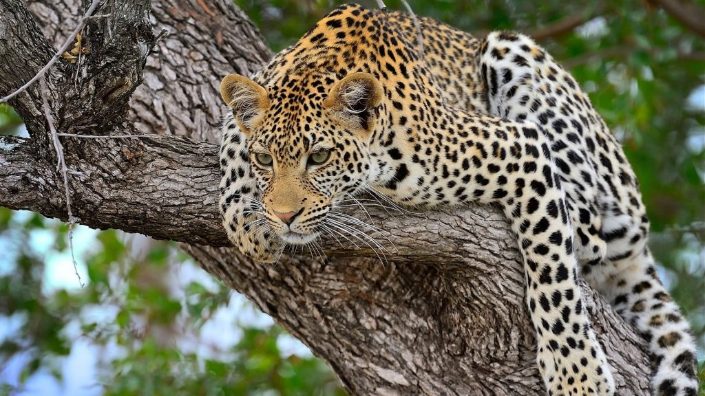 PIC-MCH013282-1024x576 Big Cat Wallpapers Free 33+