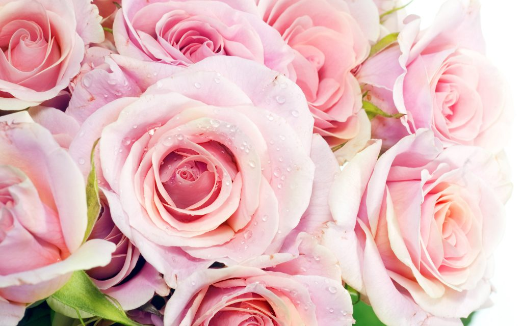 Pink-Rose-Wallpaper-Download-PIC-MCH095317-1024x640 Pink Hd Wallpapers For Pc 45+