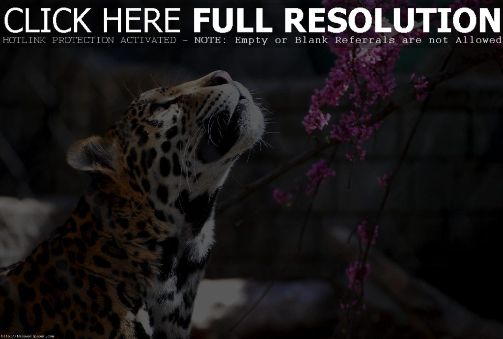 animal-wild-cat-wide-hd-wallpaper-PIC-MCH040434-1024x690 Big Cat Wallpapers Free 33+