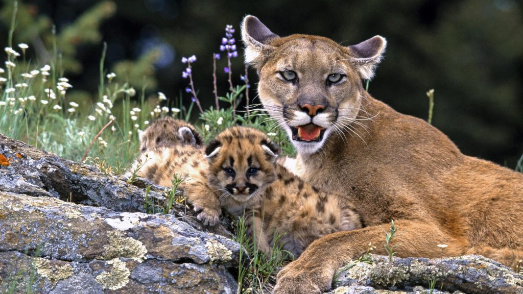 big-cat-cute-cubs-P-wallpaper-PIC-MCH046460-1024x576 Big Cat Wallpapers Hd 23+