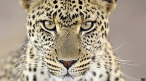 Big Cat Wallpapers For Desktop 28+