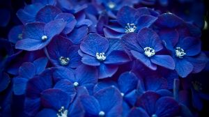 Blue Colour Flowers Hd Wallpapers 35+