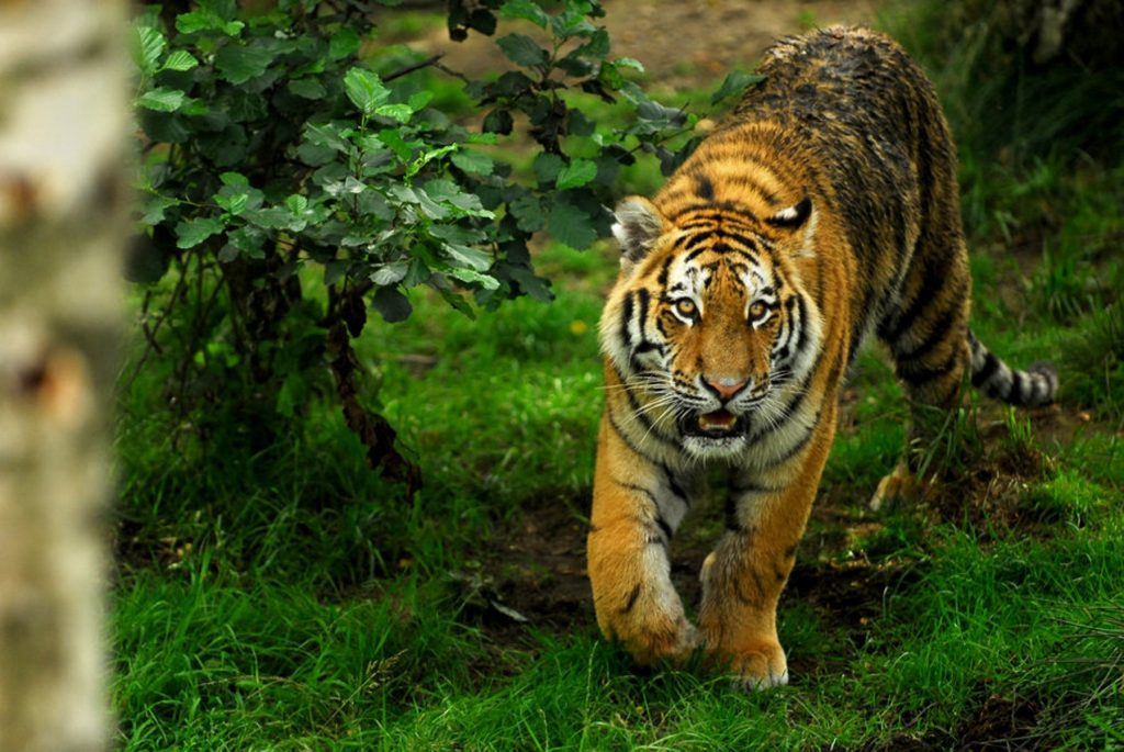 desktop-pictures-big-cats-dowload-PIC-MCH058251-1024x685 Big Cat Wallpapers Free 33+