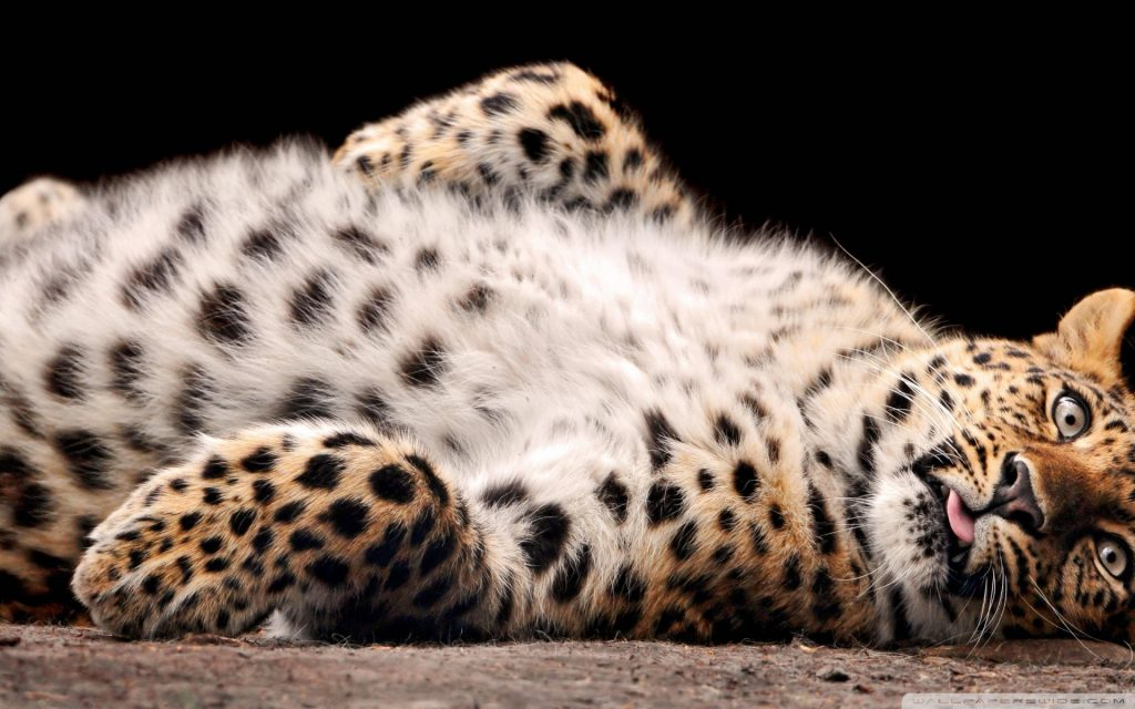 download-big-cat-wallpapers-x-free-download-PIC-MCH032456-1024x640 Big Cat Wallpapers Free 33+