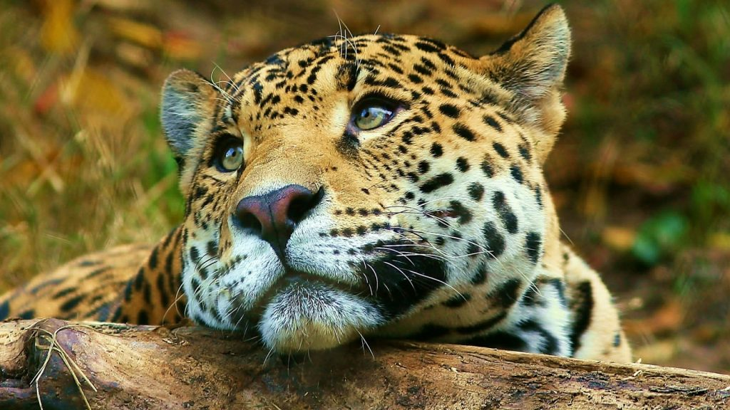 downloadfiles-wallpapers-leopard-daydreaming-wallpaper-big-cats-animals-PIC-MCH060392-1024x576 Big Cat Wallpapers Free 33+