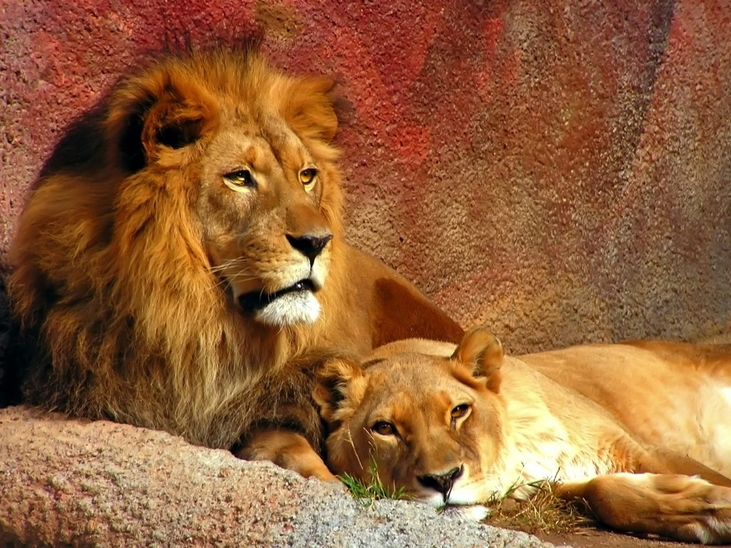 downloadfiles-wallpapers-lions-wallpaper-big-cats-animals-PIC-MCH060502-1024x768 Big Cat Wallpapers Free 33+