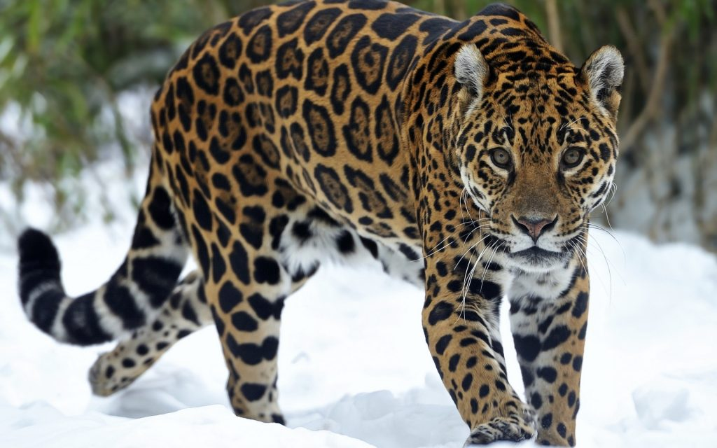 hd-wallpaperjaguar-backgrounds-predator-hd-cat-wallpapers-cat-kitten-snow-free-eyes-x-PIC-MCH072447-1024x640 Big Cat Wallpapers Free 33+