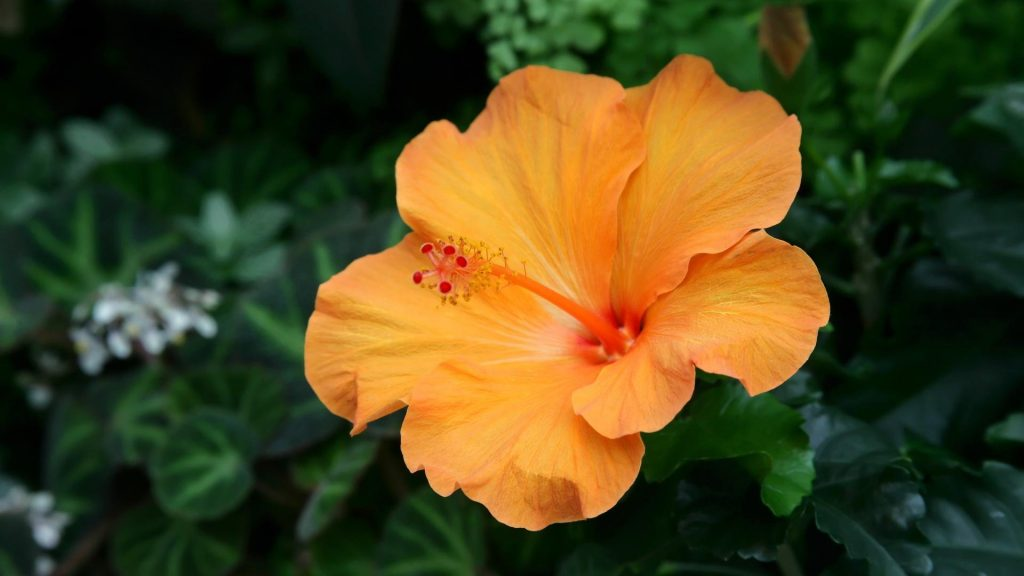 hibiscus-wallpaper-flower-border-floral-orange-wallpapers-photography-images-PIC-MCH073000-1024x576 Hibiscus Wallpaper Border 14+