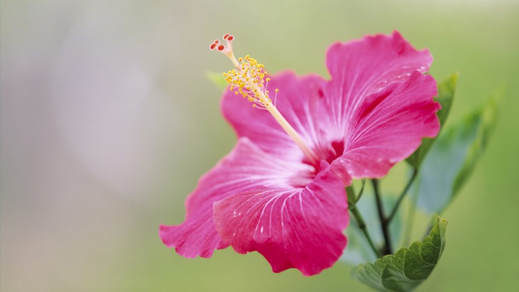 hibiscus-wallpaper-x-for-k-monitor-PIC-MCH035302-1024x576 Hibiscus Wallpaper For Walls 16+