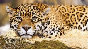 Big Cat Wallpapers Hd 23+