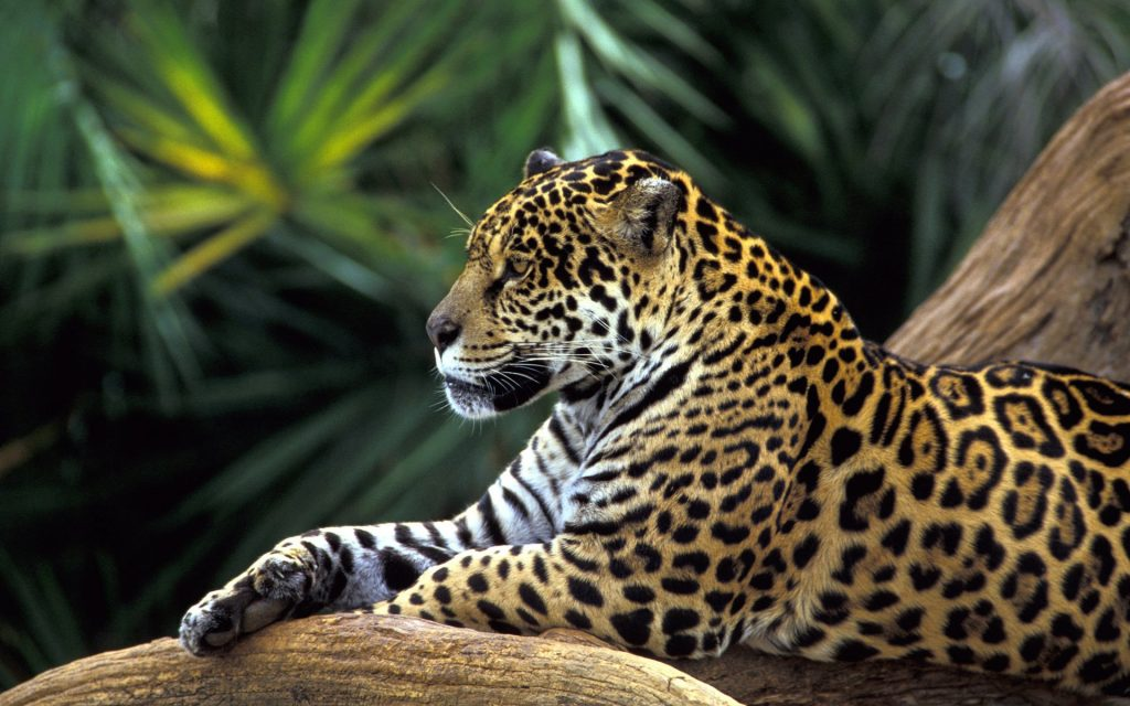leopard-is-resting-big-cat-wallpaper-PIC-MCH082046-1024x640 Big Cat Wallpapers Hd 23+