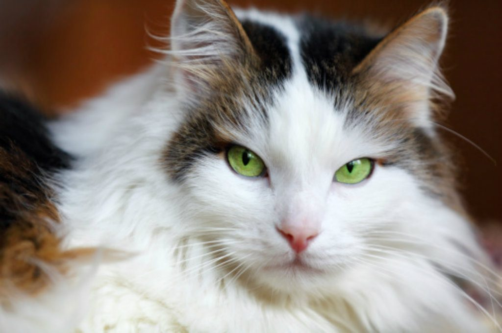 Beautiful-Cat-Wallpaper-With-Green-Eyes-PIC-MCH044737-1024x680 Beautiful Cat Wallpapers 28+