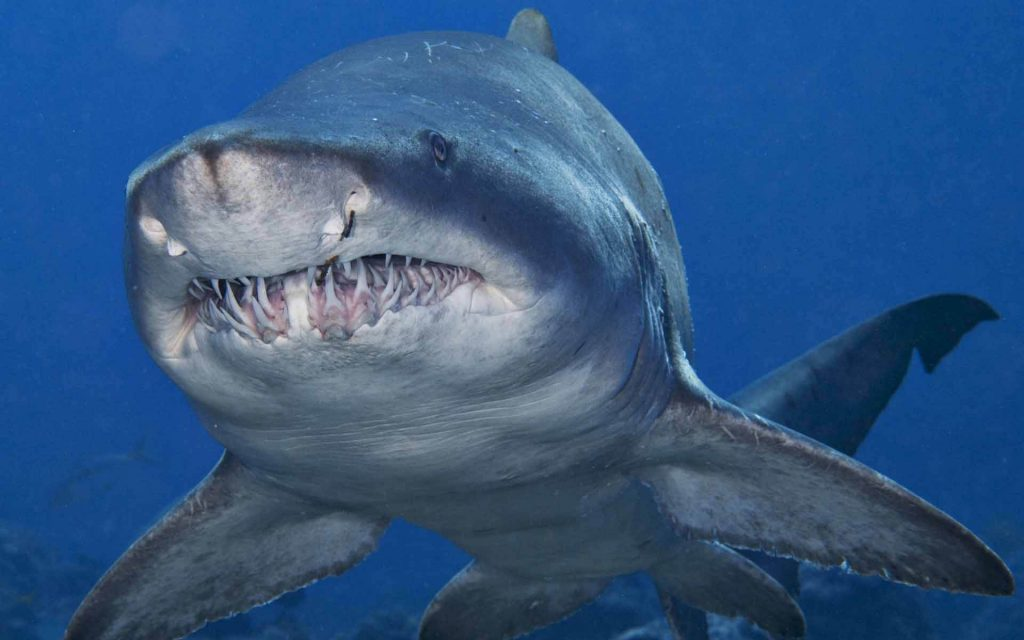 Bull-Shark-Latest-HD-Wallpapers-Free-Download-PIC-MCH050073-1024x640 Bull Wallpapers Free 49+