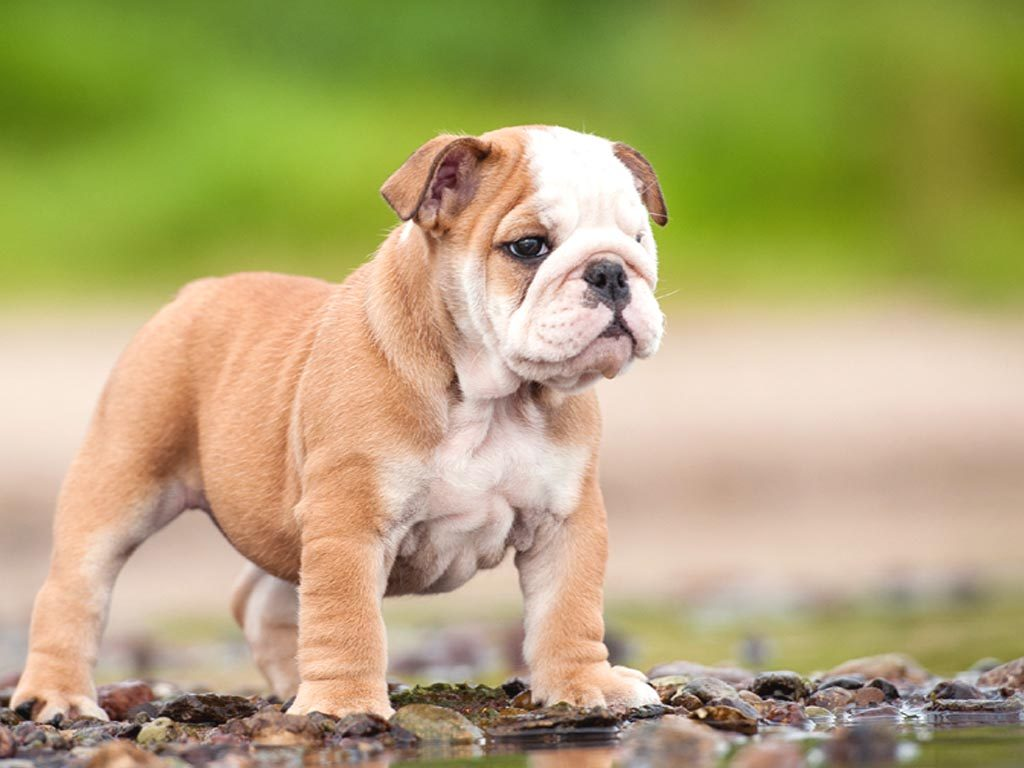 Bulldog-Wallpaper-Hd-PIC-MCH050093-1024x768 Bulldog Wallpapers 46+