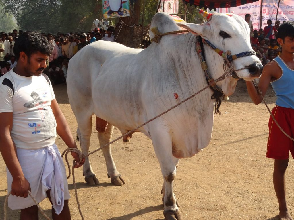DSC-PIC-MCH061085-1024x768 Ongole Bull Wallpapers 9+