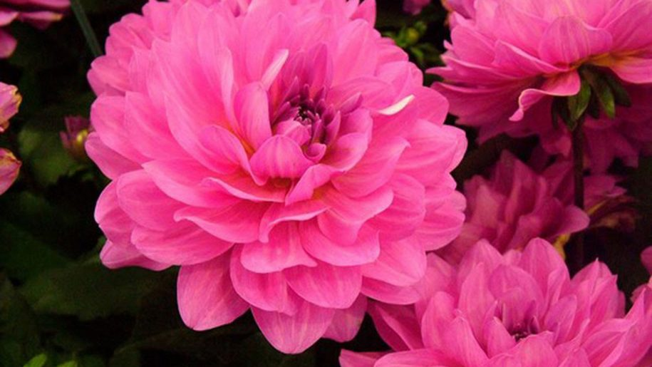 Dahlia-bright-pink-flowers-HD-Wallpaper-Download-for-mobile-x-x-PIC-MCH056126 Pink Hd Wallpaper For Mobile 35+