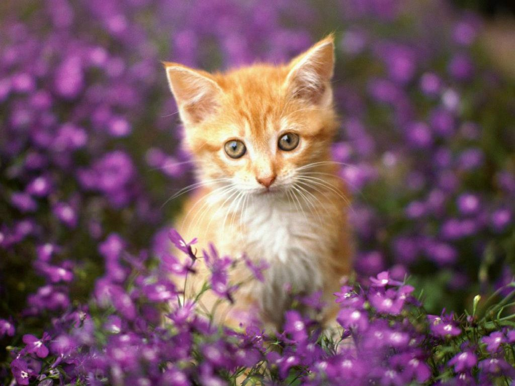 Lovely-Cat-Wallpaper-With-Flowers-PIC-MCH083582-1024x768 Beautiful Cat Wallpapers 28+