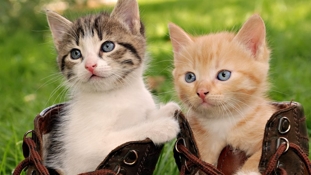PIC-MCH06898-1024x576 Beautiful Cat Wallpapers Hd 40+