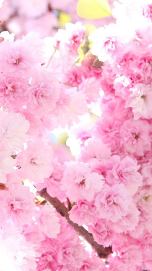 Pink-cherry-blossoms-HD-Wallpaper-iPhone-plus-PIC-MCH095145-576x1024 Pink Hd Wallpaper For Iphone 6 52+