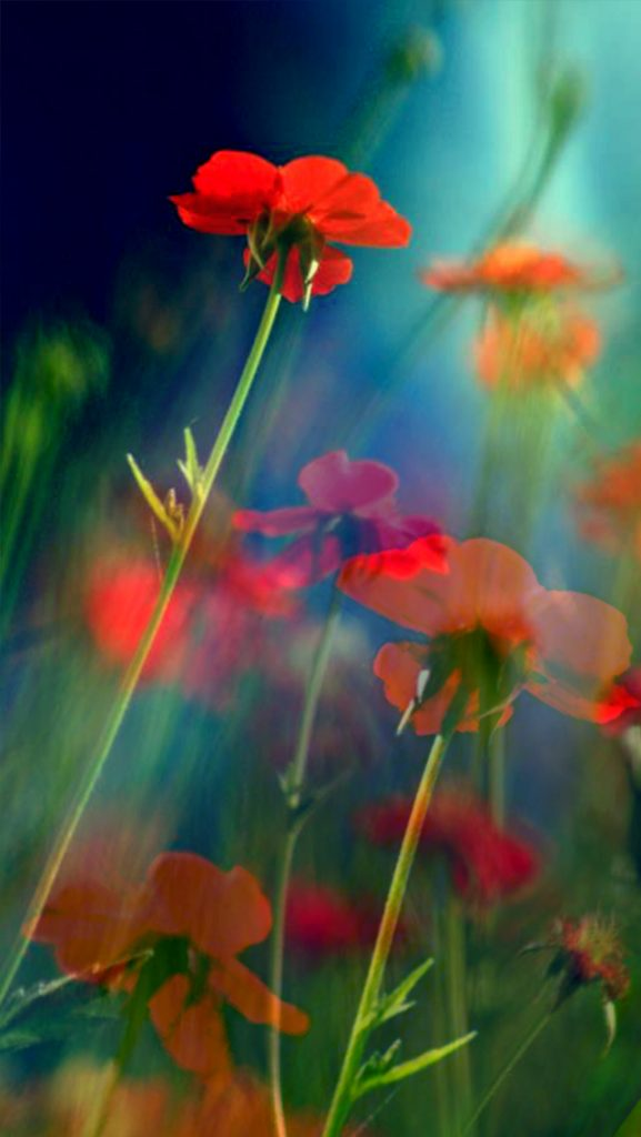 Red-Flowers-iPhone-mobile-phone-wallpaper-HD-PIC-MCH098284-577x1024 Red Wallpaper Hd For Mobile 31+