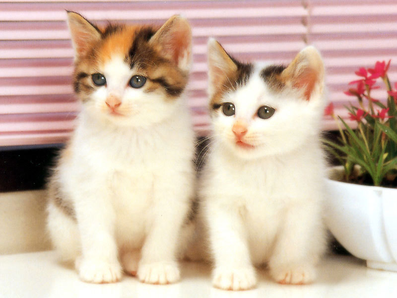 Twin-White-Cats-PIC-MCH0108646 Top 10 Beautiful Cat Wallpapers 23+