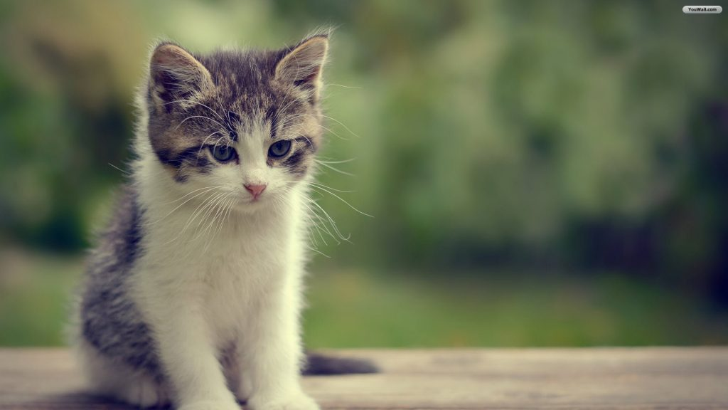 Wallpaper-Hd-For-Cat-Backgrounds-Cute-White-Desktop-High-Resolution-Androids-PIC-MCH0111942-1024x576 Beautiful Cat Wallpapers Hd 40+