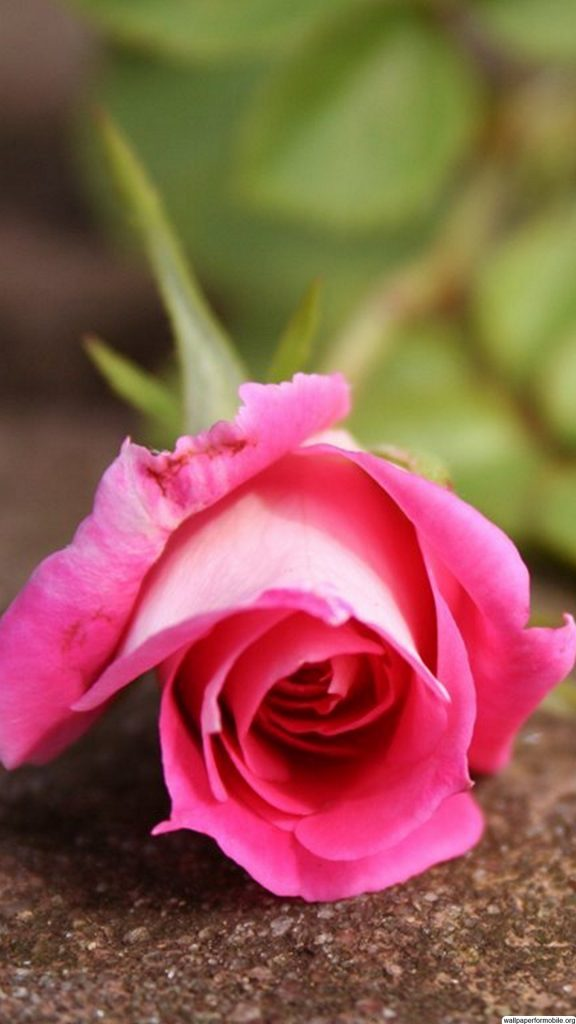 beautiful-pink-rose-flower-hd-android-wallpaper-for-mobile-PIC-MCH045072-576x1024 Pink Hd Wallpaper For Mobile 35+