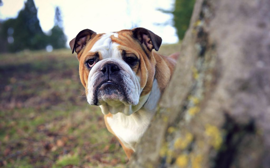 bulldog-wallpaper-hd-wallpapers-PIC-MCH050090-1024x640 Bulldog Wallpapers 46+