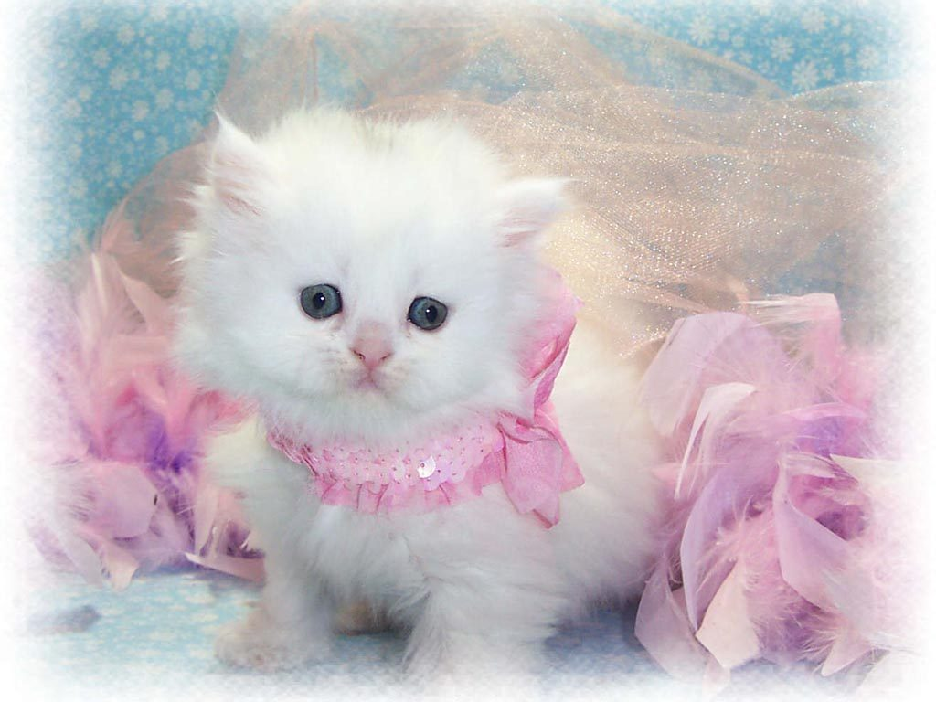 cat-cute-cats-kitten-animals-wallpapers-pics-images-photos-PIC-MCH051517-1024x768 Most Beautiful Cat Wallpapers 26+