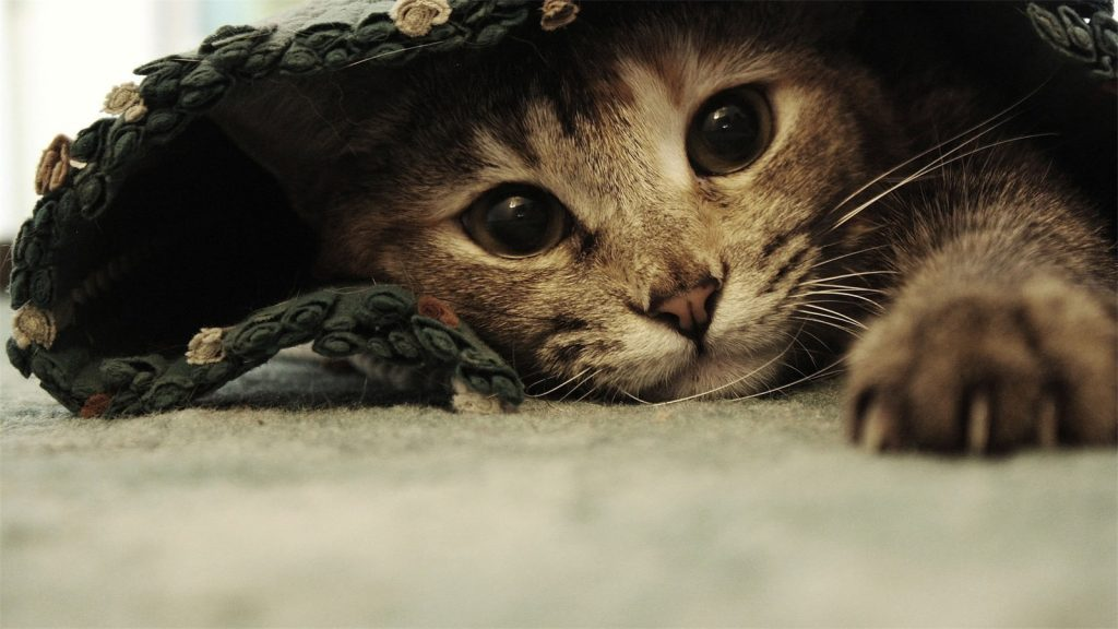 cat-wallpaper-hd-PIC-MCH051582-1024x576 Beautiful Cat Wallpapers Hd 40+