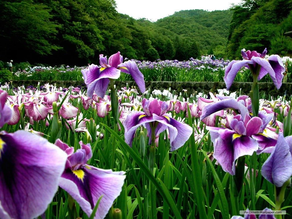 free-wallpaper-PIC-MCH065764-1024x768 Purple Iris Flower Wallpaper 31+