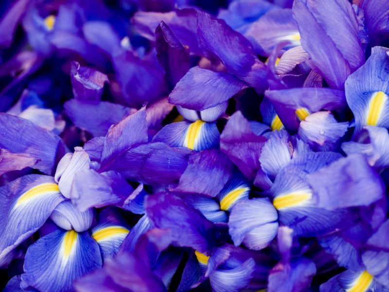k-Flower-Wallpaper-Iris-Macro-Purple-x-PIC-MCH024067 Purple Iris Flower Wallpaper 31+
