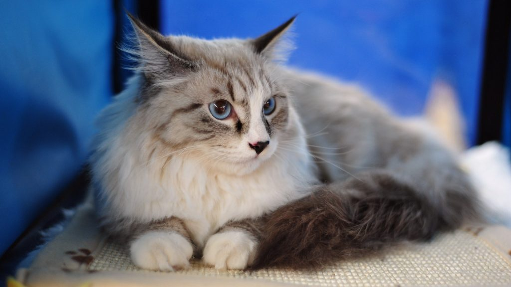 maine-coon-cat-PIC-MCH084335-1024x576 Top 10 Beautiful Cat Wallpapers 23+