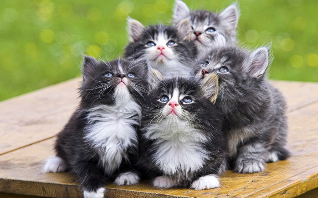 norwegian-cat-wallpapers-PIC-MCH091195-1024x640 Top 10 Beautiful Cat Wallpapers 23+