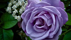 Purple And White Rose Wallpaper 38+