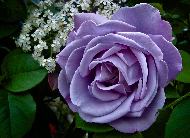 purple-rose-hd-picture-PIC-MCH096580 Purple And White Rose Wallpaper 38+