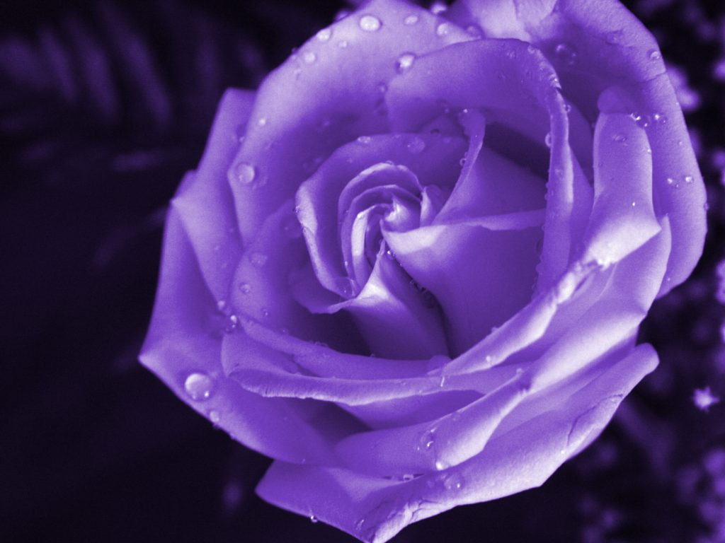 purple-rose-wallpaper-PIC-MCH096582-1024x768 Purple And White Rose Wallpaper 38+