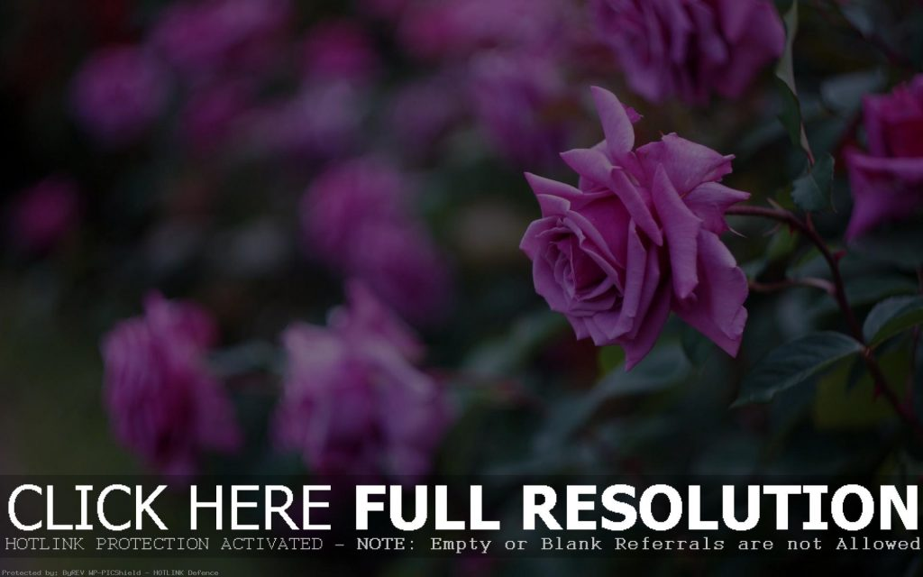 purple-roses-blur-background-wallpaper-PIC-MCH096583-1024x640 Purple And White Rose Wallpaper 38+