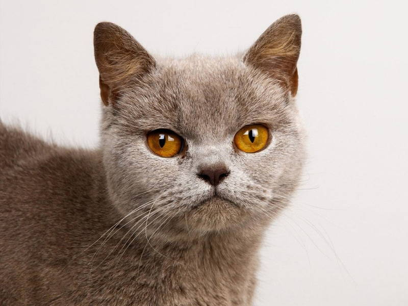 ugly-cat-burmese-PIC-MCH0109053 Top 10 Beautiful Cat Wallpapers 23+