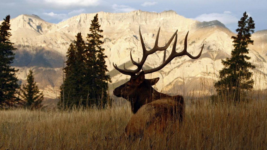 wallpaper.wiki-Bull-Elk-Wallpaper-Full-HD-PIC-WPB-PIC-MCH0113051-1024x576 Bull Wallpapers Hd 36+