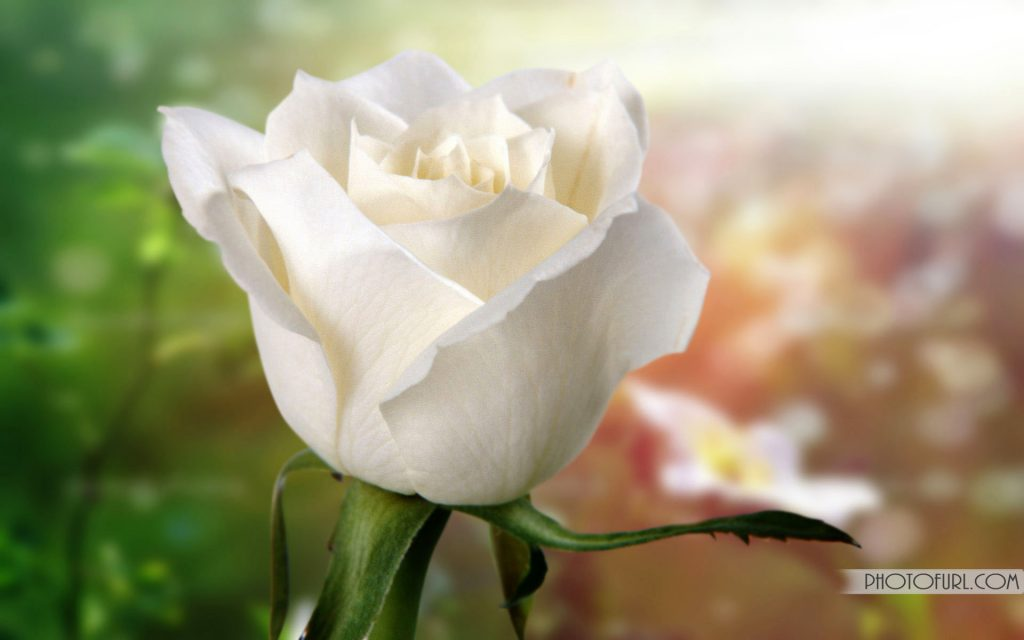 white-rose-Wallpaper-For-Android-number-QE-PIC-MCH0116335-1024x640 Purple And White Rose Wallpaper 38+