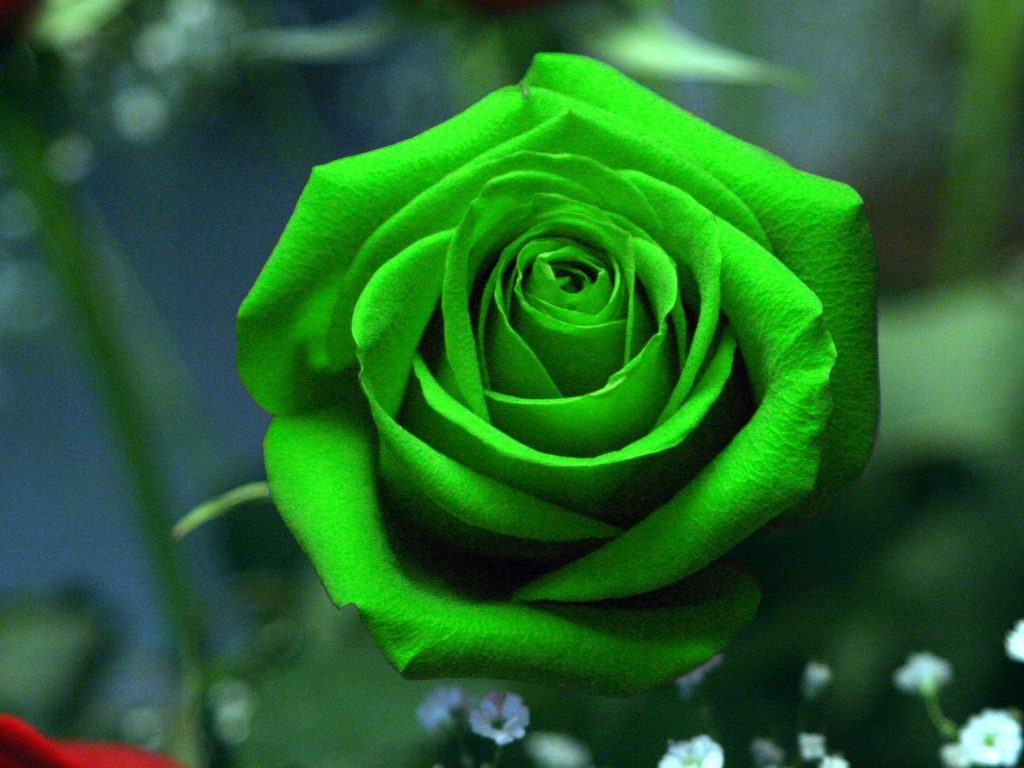 Beautiful-Green-Rose-Pictures-PIC-MCH044871-1024x768 Wallpaper Rose Hd 46+