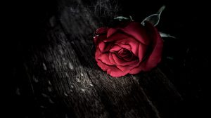 Wallpaper Rose Red 36+