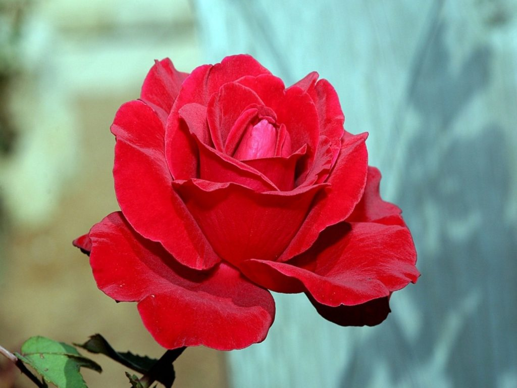 Red-Rose-HD-Wallpaper-PIC-MCH098512-1024x768 Cpm Hd Wallpaper 27+