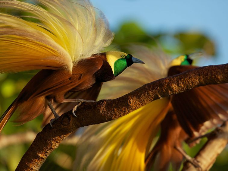 attracting-the-ladies-jfxeaqbhvorhnrwcsoomcjsptthevjcagwiqbjhtjuq-x-PIC-MCH030511 Wallpapers Paradise Birds 35+