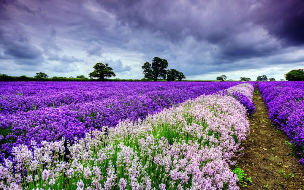 beautiful-lavender-wallpaper-PIC-MCH044969-1024x640 Tablet Wallpapers 1280x800 42+