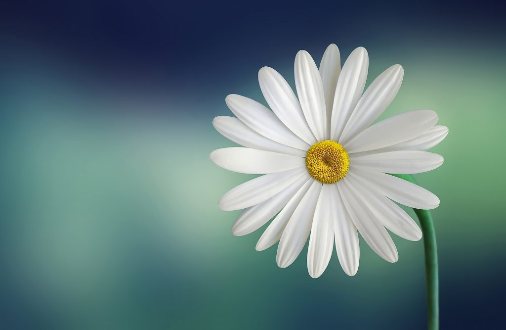 marguerite-daisy-beautiful-beauty-PIC-MCH084607-1024x667 Spa Mage Hd Wallpapers 21+
