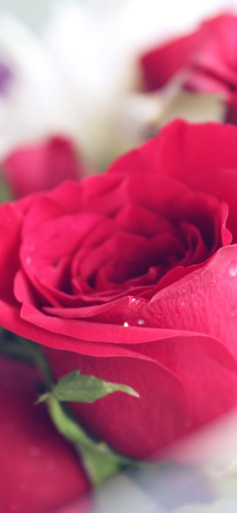 papers.co-nt-rose-red-love-nature-iphone-wallpaper-PIC-MCH093680-473x1024 Wallpaper Rose Red 36+