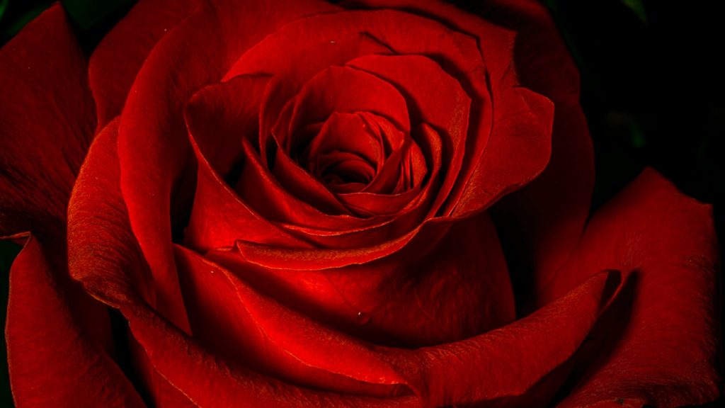 red-rose-x-hd-PIC-MCH098394-1024x576 Wallpaper Rose Red 36+