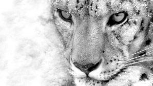 Wallpaper Snow Leopard 44+